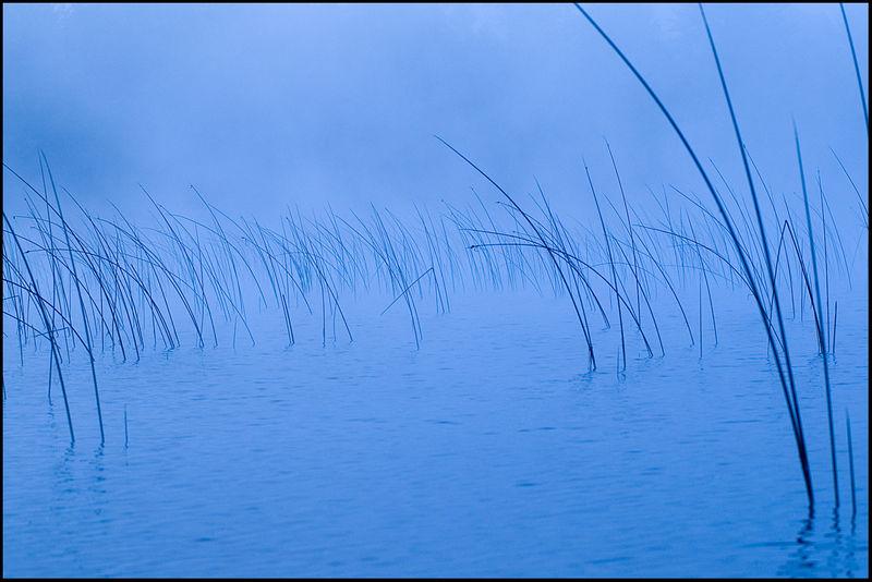 Bluereeds